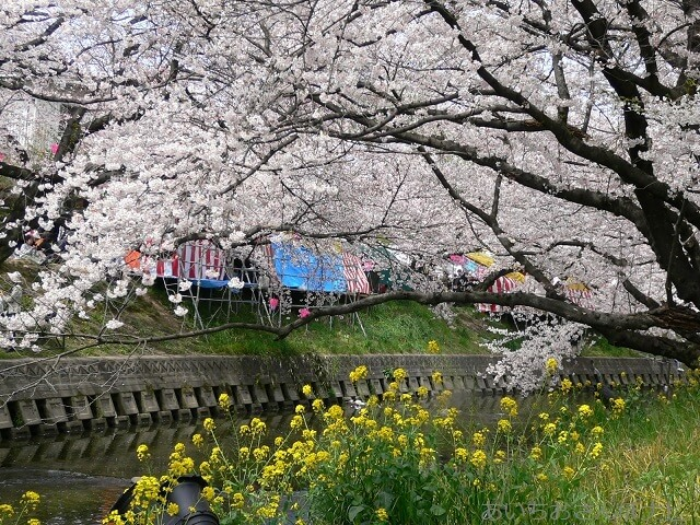 愛知県岩倉市五条川の桜まつり
