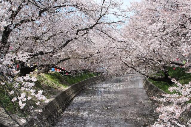 愛知県岩倉市五条川にかかる桜のトンネル
