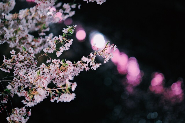 ライトアップされている夜桜