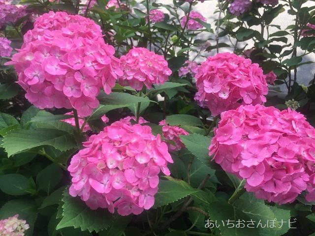 稲沢市性海寺歴史公園のピンクのアジサイ