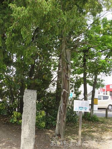 桶狭間古戦場公園のねずの木