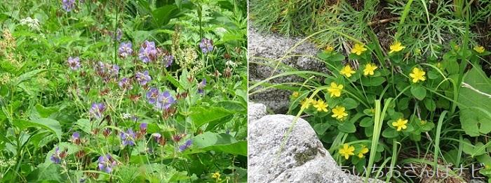 長野県駒ヶ岳の千畳敷カールで見られる高山植物