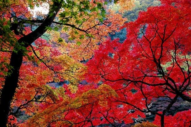 豊田市香嵐渓の紅葉したもみじ
