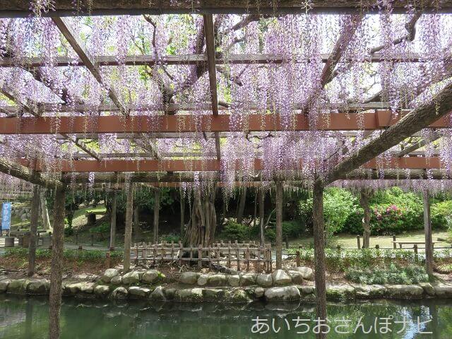 津島市天王川公園の藤