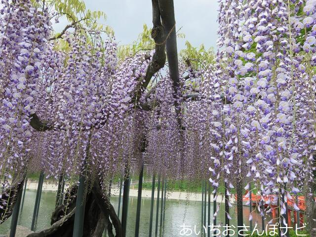 天王寺公園の藤