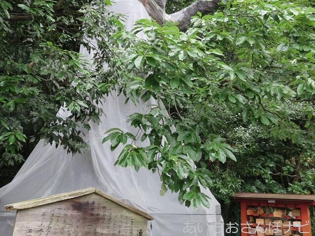 名古屋市千種区城山八幡宮の連理木